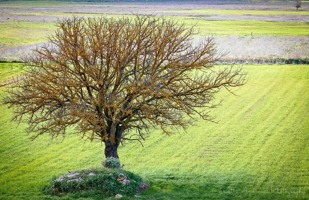 Lone tree - Korinthia